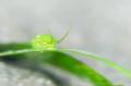 S O F T  Smaragdia viridis East Lombok, Indonesia.