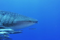 4 meter whaleshark at shark bank mahe island