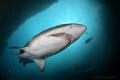 Grey Nurse Shark (Carcharias taurus) at Fish Rock Cave, off South West Rocks, NSW Australia