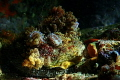 Disk World - family of nudibranches hitching a ride on an abalone shell