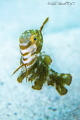 Juvenile Razorfish