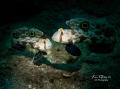 COUPLE... Crab Eye Goby - Signigobius biocellatus