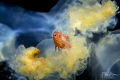 A Big-eye amphipod (Hyperia galba)living inside a Compass jellyfish(Chrysaora hysoscella)