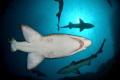 Grey Nurse sharks from below