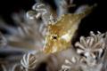 G O L D • D U S T  Juvenile Filefish