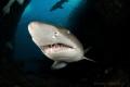 Grey nurse sharks inside the cave a Fish Rock