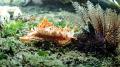 Nudi approaching a sea urchin