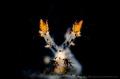 S P I K EY  Nudibranch (Spikey Dendronotus) Tulamben, Indonesia.