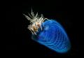 Tiger shrimp Lembeh strait 2017 Nikon D800E , 105 macro, 1strobo Inon Z240 +snoot Retra. ISO100, F22,1/200