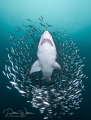 Out of the pack    I really had this image or something very similar to it in my mind during this particular dive with the sand tiger sharks  when I turned my head to see it in actuality    Lucky me
