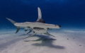 A beautiful Great Hammerhead Shark