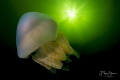Barrel jellyfish, Zeeland, the Netherlands.