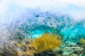 Waves crash onto a shallow coral reef  a gorgonian waving in the strong sea.