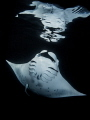 Manta reflection (night snorkeling)