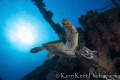 Early morning dive on the Carnatic with a turtle about to munch on soft coral for breakfast