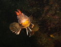 Happy to see you -  Tompot Blenny (Parablennius gattorugine) - Picture taken in Kenmare Bay, Ireland.