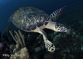 What better way to finish off a dive than a Hawksbill passing within an arms length.