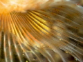 Detail of a fanworm