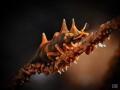 dragon shrimp Sahaung/Bangka Northsulawesi