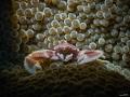 Porcelain crab posing on anemone