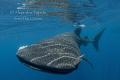 Whaleshark in surface, Isla Contoy México