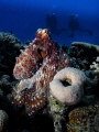 Octopus in the red sea