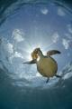 Green Turtle eating Jellyfish Sunburst