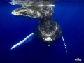humpback whale and her calf in the clear blue water of Polynesia