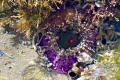 This is a gem sea anemone showing its amazing purple base!