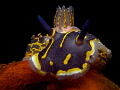 Hypselodoris picta