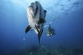 atlantic spadefish swimming 1/3