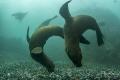 Playfull Cape Fur Seals, Patridge point, False bay, South Africa