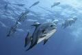 atlantic spadefish swimming 2/3