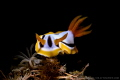 A common Nudi with nice portrait shot