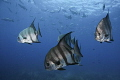 atlantic spadefish swimming 3/3