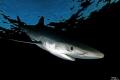 Blue shark :-)