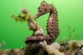 Short-snouted seahorse (Hippocampus hippocampus), Zeeland, The Netherlands.