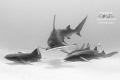 A hammerhead splits a grouping of nurse sharks as it cruises over sand.