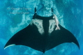 Mantaray in O neil  Socorro M xico