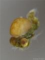 Extreme Super Macro of Idiomysis with parasite Aka Island, Okinawa-Japan
