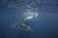 Big tail and small tail/ Humpback whale/Vava'u Tonga