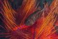 Sea urchin with juvenil fish