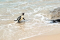 African Penguin - Heading Home - Boulders Beach South Africa