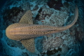 Leopard Shark from above