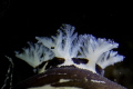 Leopard Slug - Discodoris atromaculata
