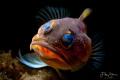 Jawfish, Manado, Sulawesi.