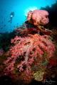 Pink coral, Banda sea, Indonesia.