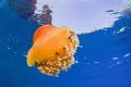 Jellyfish from La Herradura