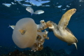 Green Turtle feeding on jellyfish