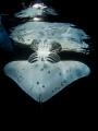 Another manta reflection
